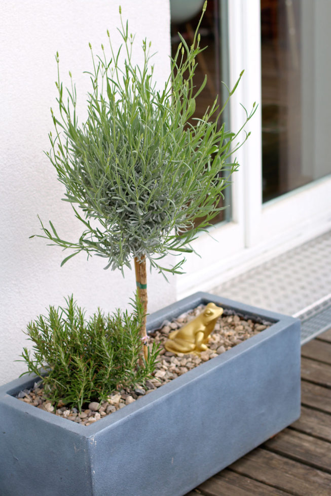 Lavendelbäumchen Topf Balkon